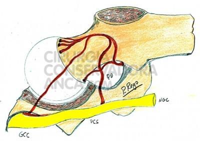 fig.3 Esquema da perfusão arterial da cabeça do fémur na criança